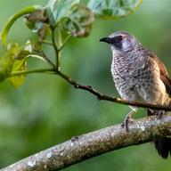 White-rumped Babbler