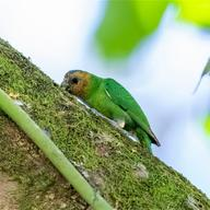 Buff-faced Pygmy Parrot