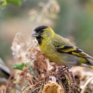 Black-chinned Siskin
