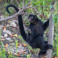Black-Faced Black Spider Monkey