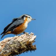 White-browed Nuthatch